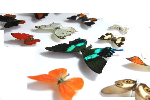 Framed Butterfly Collections