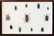 Insects and Beetles from Africa Dark brown 11 vertical Frame, Beetle Frame - Insect Frame UK, Insect Frame UK  - 2
