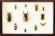 Insects and Beetles from Asia Dark brown horizontal Frame, Beetle Frame - Insect Frame UK, Insect Frame UK