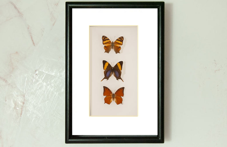 Orange admiral, Orange Banded Daggerwing and Falcate Red Charaxes Solid wood  21x30, Butterfly Frame - Insect Frame UK, Insect Frame UK  - 1