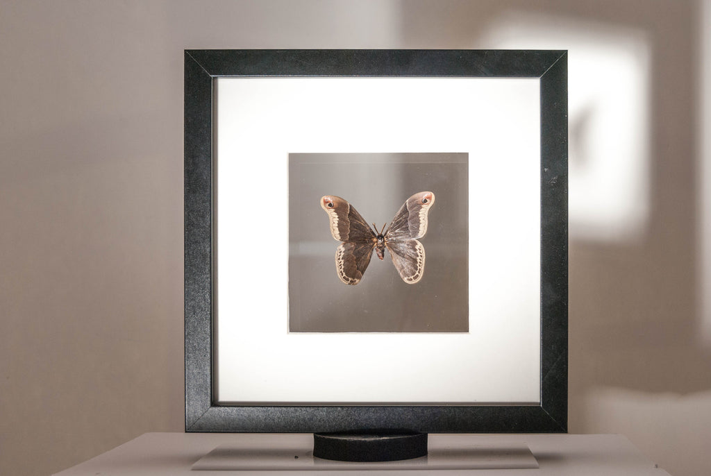 Silky Hawk Moth Double see view, Moth Frame - Insect Frame UK, Insect Frame UK  - 1