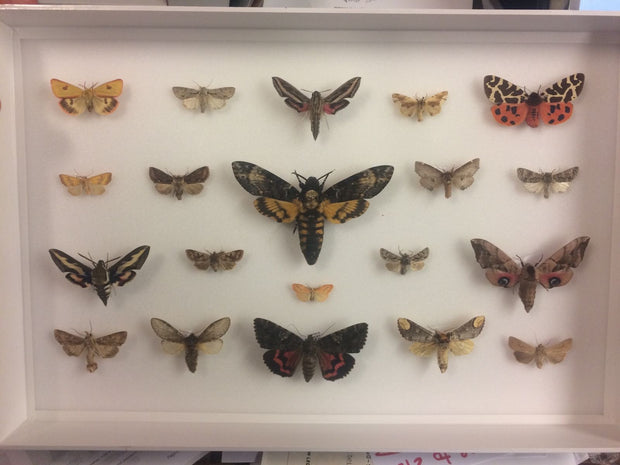 UK Moths Collection Dark wood, Natural History Collection - Insect Frame UK, Insect Frame UK