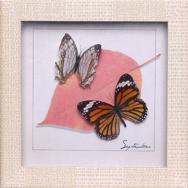 Monarch Butterfly , Sale Items - Insect Frame UK, Insect Frame UK