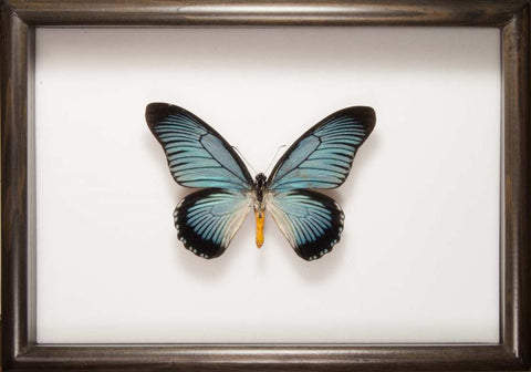 Giant Blue Swallowtail Zalmoxis - Insect Frame UK