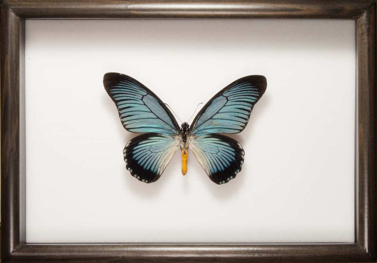 Giant Blue Swallowtail Zalmoxis Solidwood 21x30 black, Butterfly Frame - Insect Frame UK, Insect Frame UK  - 1