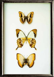 Golden Out of Africa Collection Black Solid wood 25x35 black, Accessories - Insect Frame UK, Insect Frame UK  - 1