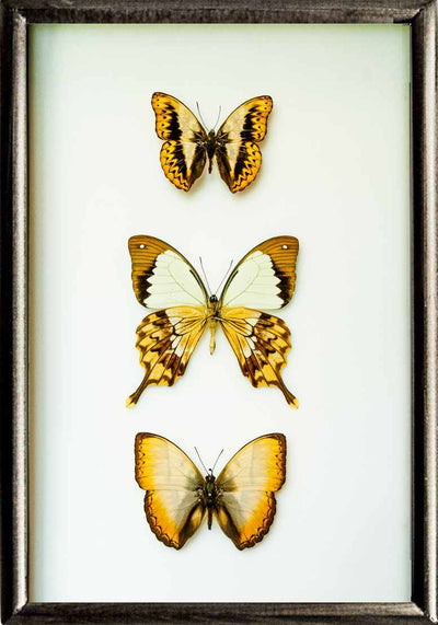 Golden Out of Africa Framed Butterfly Collection - Insect Frame UK
