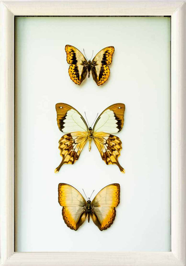 Golden Out of Africa Collection White Solid wood 25x35 white, Accessories - Insect Frame UK, Insect Frame UK  - 2