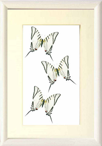 Eurytides Glaucolaus Leucas Eurytides on Solid wood 21x30 white, Butterfly Frame - Insect Frame UK, Insect Frame UK  - 1