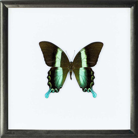 Peacock Blumei Solid wood 25x25x5 black, Butterfly Frame - Insect Frame UK, Insect Frame UK  - 1