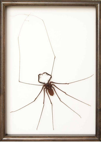 Whip Scorpion Whip Scorpion in black frame, Scorpion Frame - Insect Frame UK, Insect Frame UK  - 2