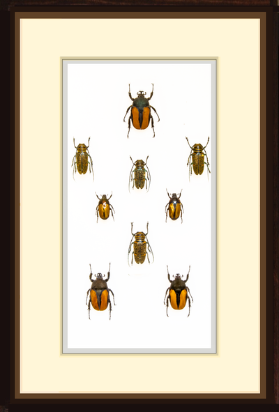 Unique Beetles Collection - Insect Frame UK