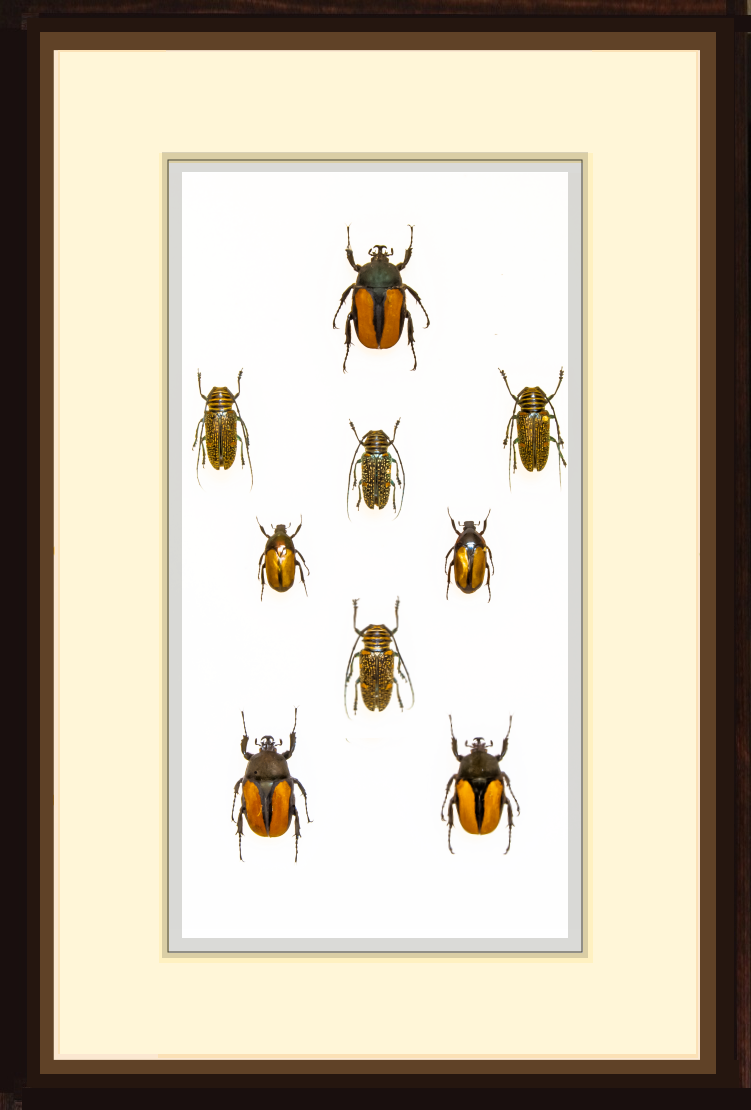 Beetles Collection 21x30 solid wood frame, Beetle Frame - Insect Frame UK, Insect Frame UK  - 1