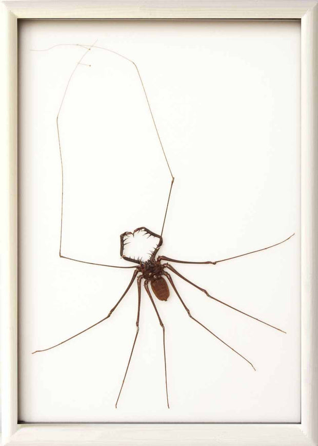 Whip Scorpion Whip Scorpion in white frame, Scorpion Frame - Insect Frame UK, Insect Frame UK  - 3
