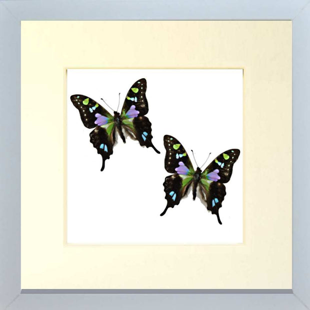 Spotted Swallowtail Framed Butterfly Fiberboard 25x25 white, Butterfly Frame - Insect Frame UK, Insect Frame UK  - 4