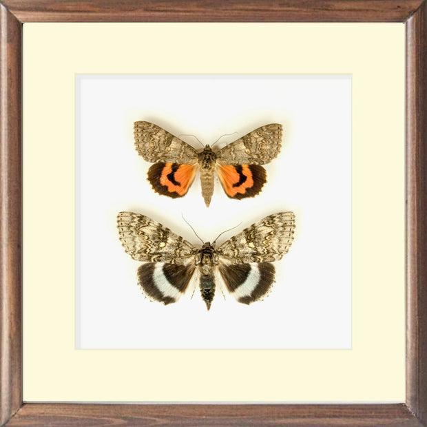 Catocala Fraxini and Nupta Underwing Moth - Insect Frame UK