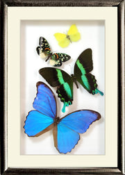 Brazil Colors and Music Unique Framed Butterfly Collection - Insect Frame UK