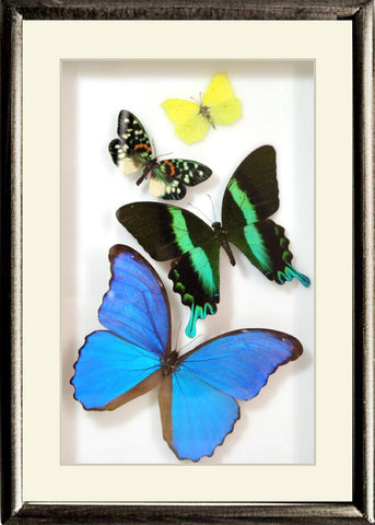 Brazil Colors and Music Unique Collection Green Brazil  in black frame, Natural History Collection - Insect Frame UK, Insect Frame UK  - 1