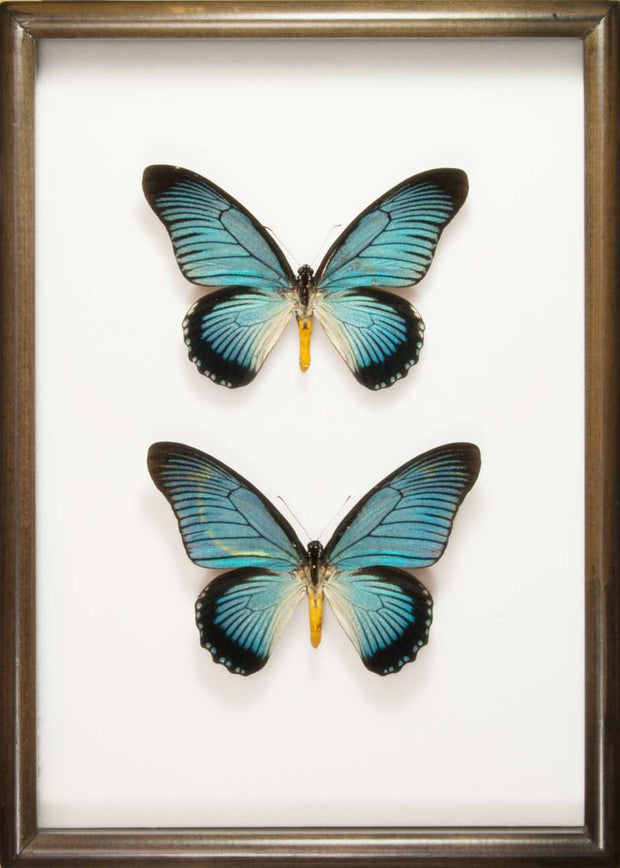 Giant Blue Swallowtail Zalmoxis Solid wood duo 25x35 black, Butterfly Frame - Insect Frame UK, Insect Frame UK  - 2
