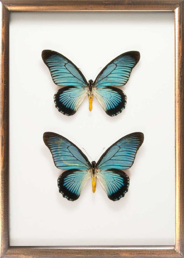 Giant Blue Swallowtail Zalmoxis Solid wood duo 25x35 brown, Butterfly Frame - Insect Frame UK, Insect Frame UK  - 3