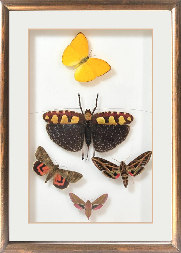 Brazil Colors and Music Unique Collection Yellow Brazil  in brown frame, Natural History Collection - Insect Frame UK, Insect Frame UK - 3