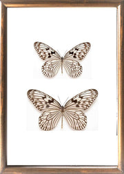 Tree Nymph Butterfly - Insect Frame UK