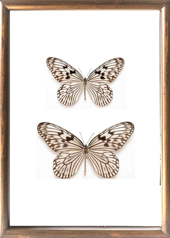Tree Nymph Butterfly Solid wood 25x35 brown, Butterfly Frame - Insect Frame UK, Insect Frame UK  - 1