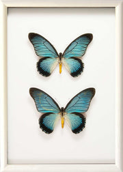 Giant Blue Swallowtail Zalmoxis Solid wood duo 25x35 white, Butterfly Frame - Insect Frame UK, Insect Frame UK  - 4