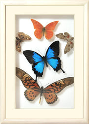 Brazil Colors and Music Unique Collection Orange Brazil in white frame, Natural History Collection - Insect Frame UK, Insect Frame UK  - 2