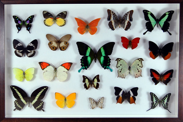 Twenty World Tropical Butterflies Walnut Wood color, Natural History Collection - Insect Frame UK, Insect Frame UK  - 1