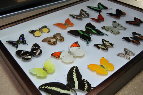 Twenty World Tropical Butterflies - Insect Frame UK