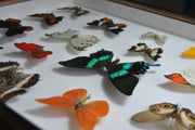 Twenty World Tropical Butterflies , Natural History Collection - Insect Frame UK, Insect Frame UK  - 3