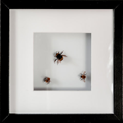 Bumble Bees Special Collection Framed Bumble Bee (black 25x25), Insect Frame - Insect Frame UK, Insect Frame UK  - 4