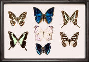 Afrički ītä-wālï Butterfly Collection (suitcase gift option) Sisters of Africa black frame, Butterfly Frame - Insect Frame UK, Insect Frame UK  - 1