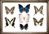 Afrički ītä-wālï Butterfly Collection (suitcase gift option) Sisters of Africa brown frame, Butterfly Frame - Insect Frame UK, Insect Frame UK  - 2