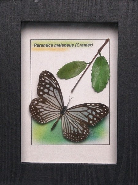 Tiger Framed Butterfly , Sale Items - Insect Frame UK, Insect Frame UK