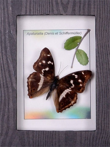 Purple Emperor framed Butterfly , Sale Items - Insect Frame UK, Insect Frame UK