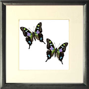 Spotted Swallowtail Framed Butterfly Solid wood 25x25 black, Butterfly Frame - Insect Frame UK, Insect Frame UK  - 2