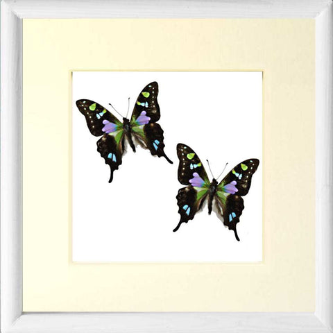 Spotted Swallowtail Framed Butterfly Solid wood 25x25 white, Butterfly Frame - Insect Frame UK, Insect Frame UK  - 1