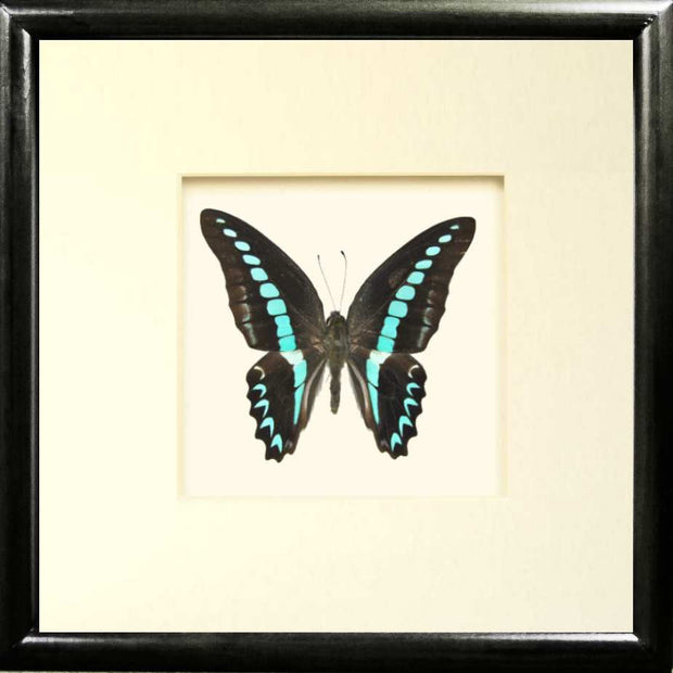 Graphium Milon Framed Butterfly Solid wood cm 25x25x5  black, Butterfly Frame - Insect Frame UK, Insect Frame UK  - 1