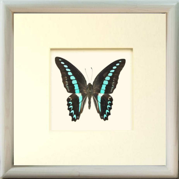 Graphium Milon Framed Butterfly Solid wood cm 25x25x5 white, Butterfly Frame - Insect Frame UK, Insect Frame UK  - 2