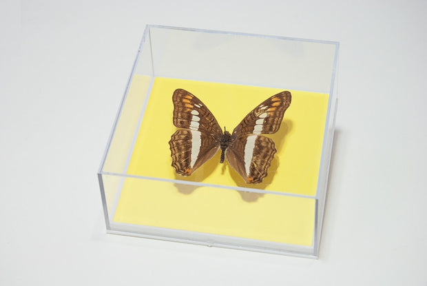 Adelpha Alala , Insect Frame - Insect Frame UK, Insect Frame UK