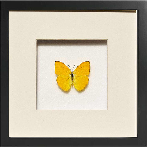 Apricot Sulphur Black, Butterfly Frame - Insect Frame UK, Insect Frame UK  - 1