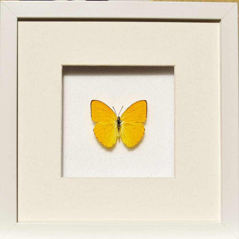 Apricot Sulphur White, Butterfly Frame - Insect Frame UK, Insect Frame UK  - 2
