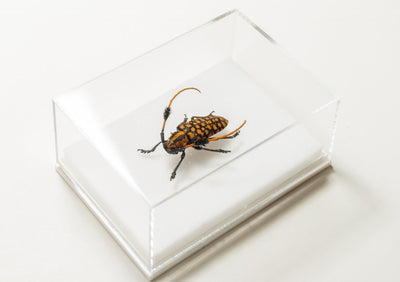 Aristobia Approximator , Insect Frame - Insect Frame UK, Insect Frame UK