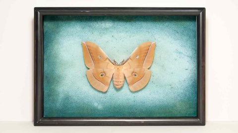 Chinese Tussah Moth Silk on black frame and artistic background (Horiz), Moth Frame - Insect Frame UK, Insect Frame UK  - 1