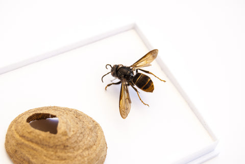 Vespa Mandarinia  -Asian Hornet - Insect Frame UK