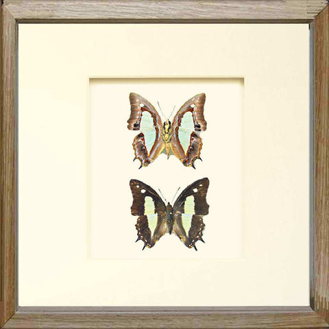 Fast-flying Nawab Butterfly Solid wood 25x25 oak, Butterfly Frame - Insect Frame UK, Insect Frame UK  - 1