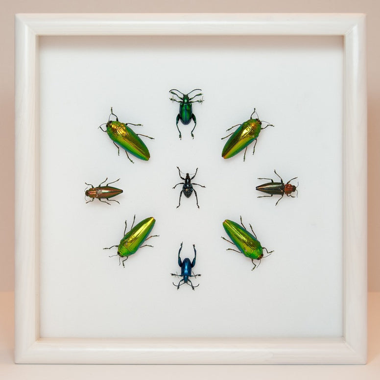 Eclectic collection of colorful beetles Beetle1 white frame, Beetle Frame - Insect Frame UK, Insect Frame UK  - 1