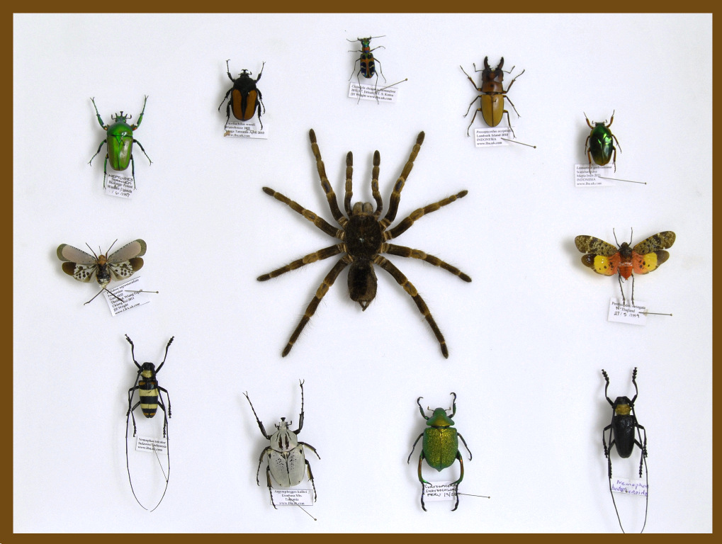 Mixed Tropical Insects , Natural History Collection - Insect Frame UK, Insect Frame UK  - 1